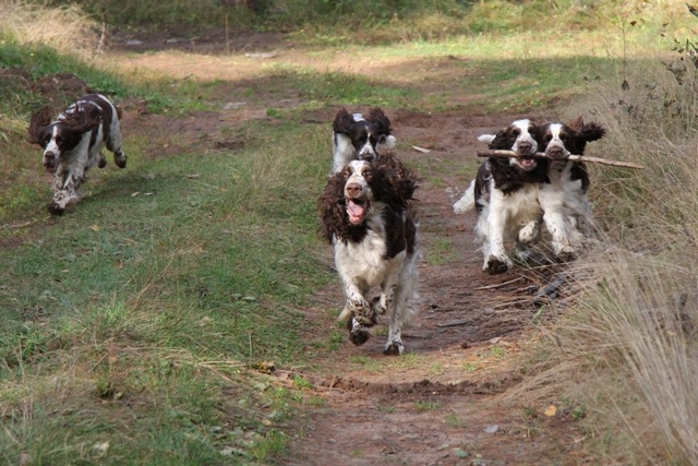 Спрингеры Foxberryhill's -Saima, Kaj, Gerda, Lotta, Connie, Violetta - Страница 11 194947-d21ee-74727523-m750x740-u09814