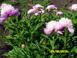 У меня в садочке- выросли цветочки! - Страница 5 270386-14e0f-32918933-h200