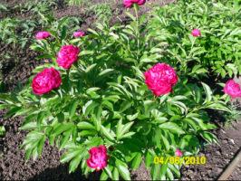 У меня в садочке- выросли цветочки! - Страница 5 270386-85c40-32918935-h200